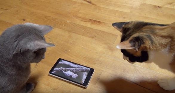 スマホを覗き込む2匹の猫