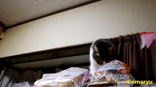 袋を覗く猫