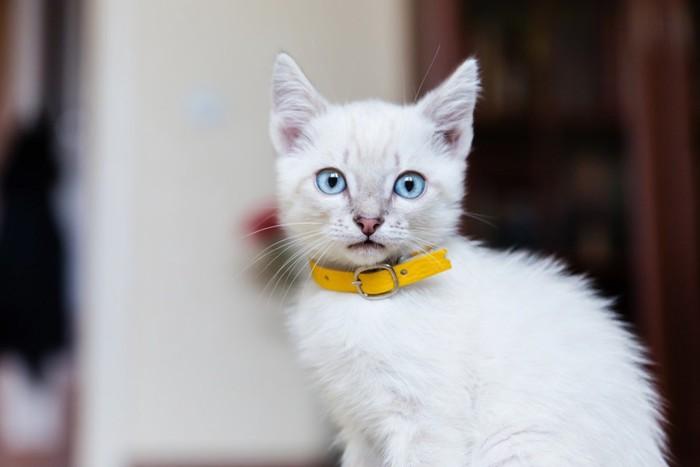 通販で買えそうな首輪をしている猫