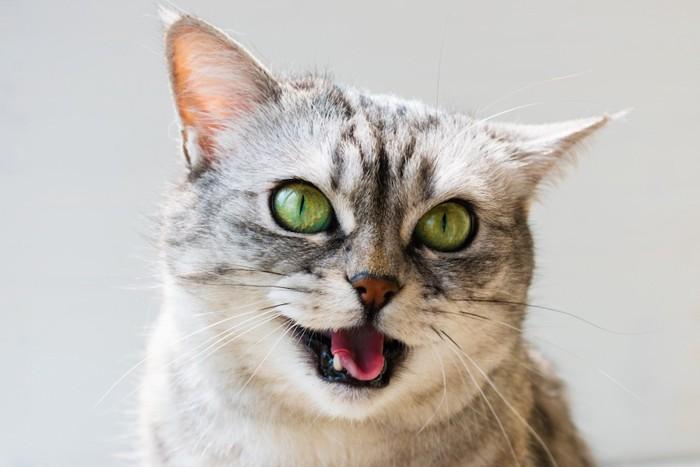 鳴いているグリーンの瞳の猫