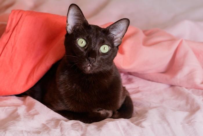 ベッドにいる黒猫