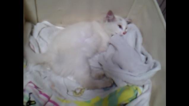箱の中で横たわる猫