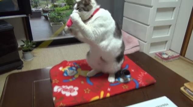 猫じゃらしをくわえて立ち上がる猫