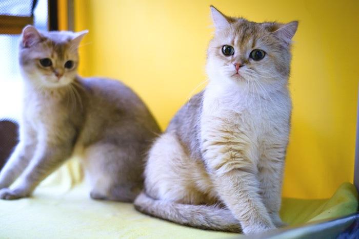 2匹の猫と黄色の背景