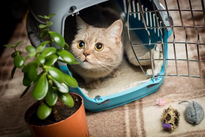 キャリーバッグ内の猫