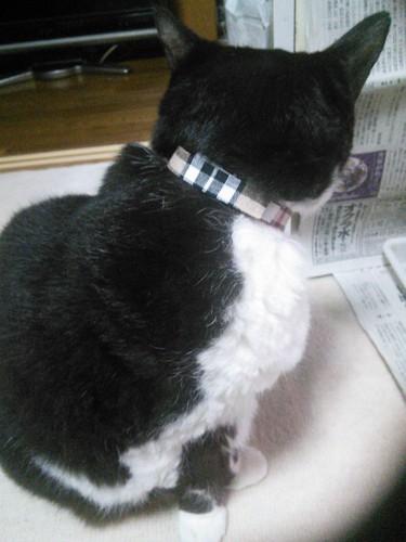 首輪を着けている白黒猫