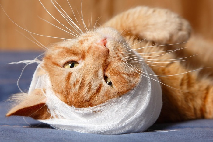 包帯をまいている猫