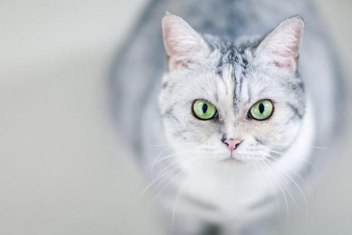 こちらを見上げる猫の顔アップ