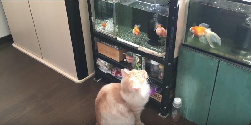水槽の中の金魚を見上げる猫