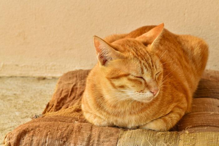 座布団で寝る猫