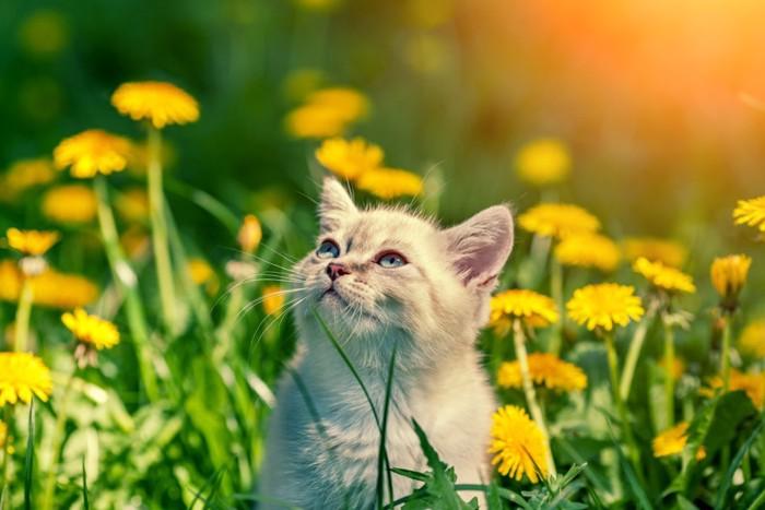 たんぽぽの中の猫