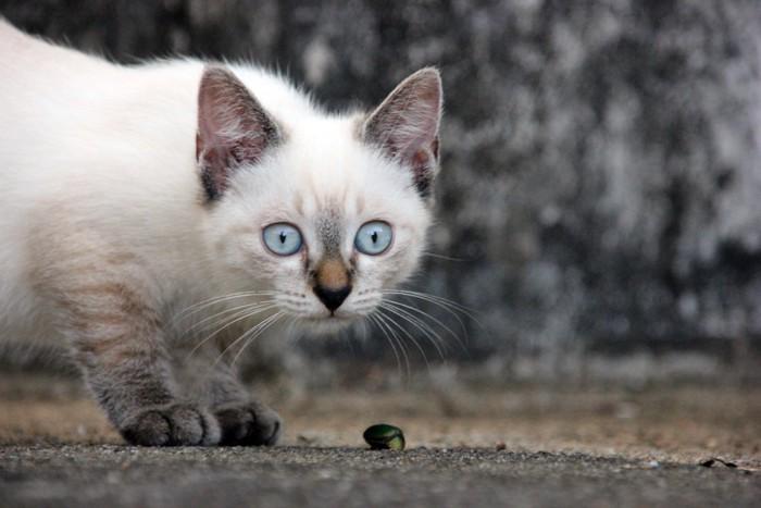 虫を見る青い目の子猫