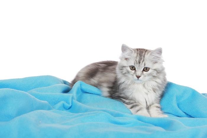 毛布をフミフミする猫