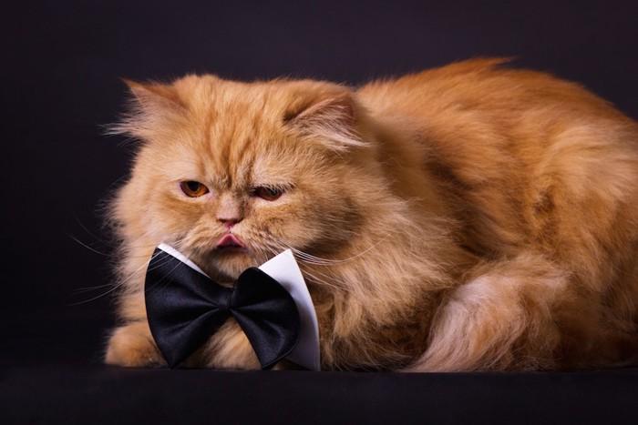 リボンを付けた長毛猫