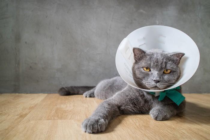 エリザベスカラーをした緑の首輪の猫