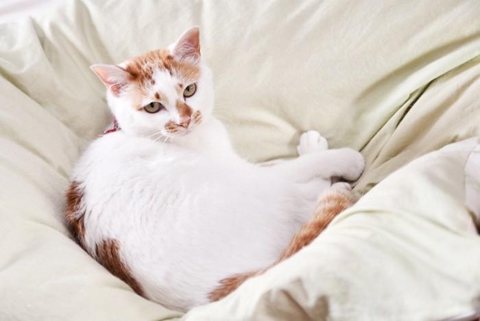飼い主の布団の足元でくつろぐ猫