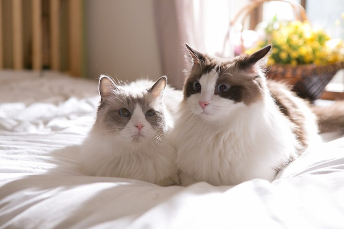 ベッドの上で寄り添う二匹のラグドール