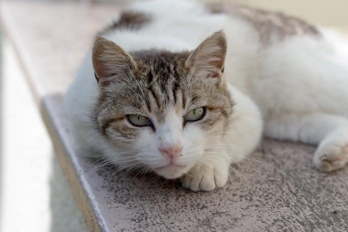 くつろぎながら見つめる粗相が治らない猫