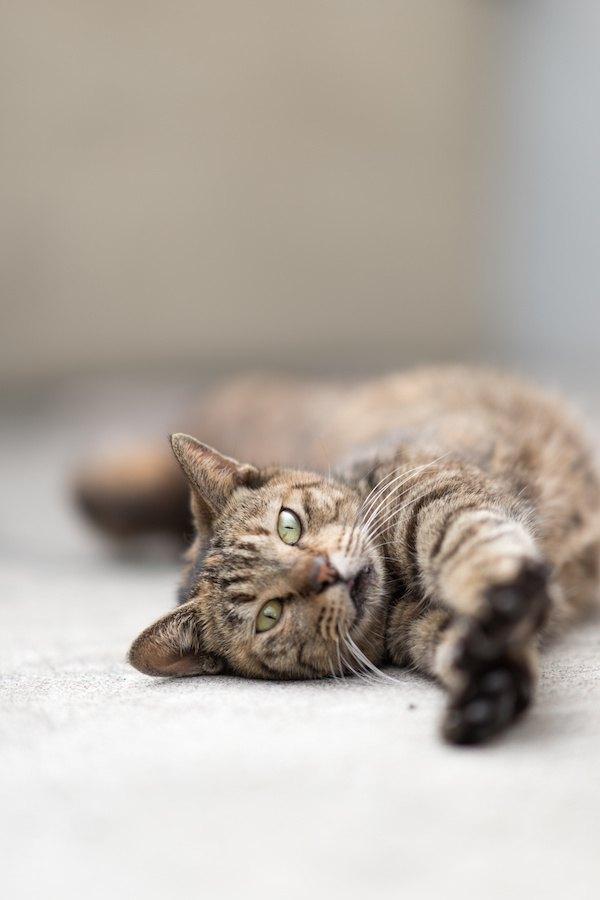 カーペットの上でリラックスする猫