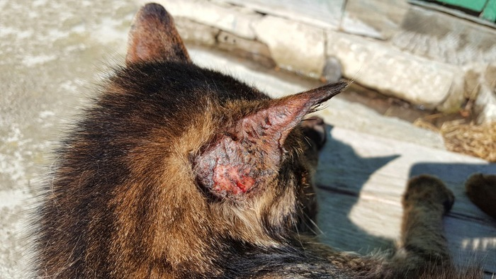 耳の後ろにかさぶたができた猫