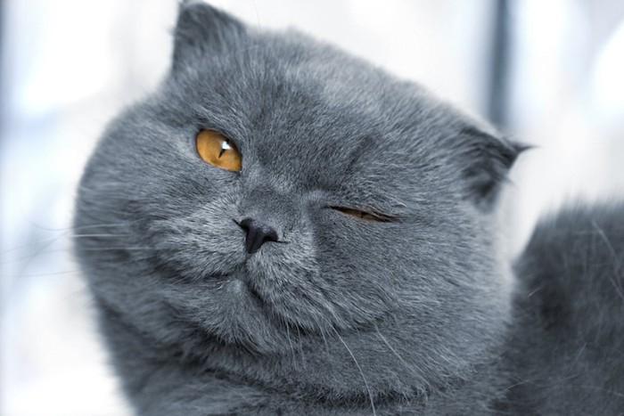ウインクするグレーの猫の顔アップ