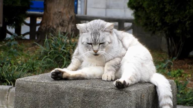下を見つめる灰色猫