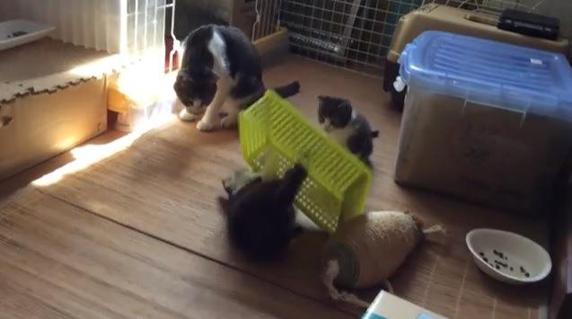 ケースから出てくる子猫と他2匹