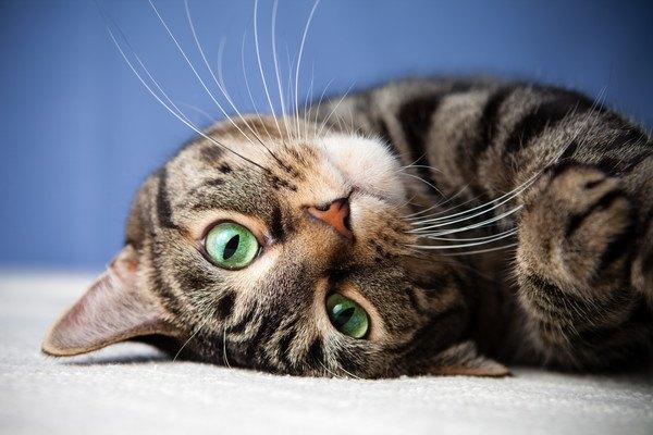 こちらを見る緑の目のキジ猫