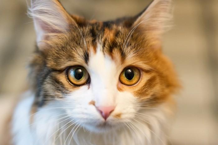 訴えるように見つめる猫