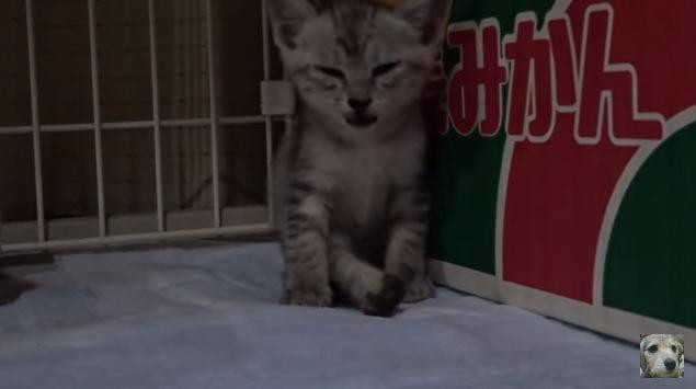 段ボールに寄りかかる子猫