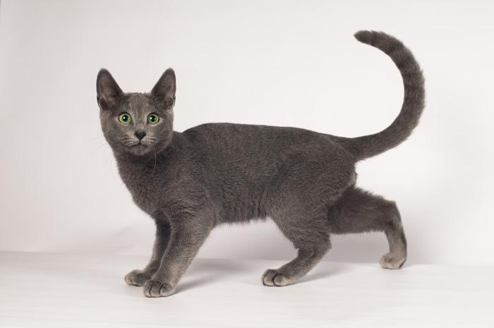 しっぽをくるっと立てる黒猫
