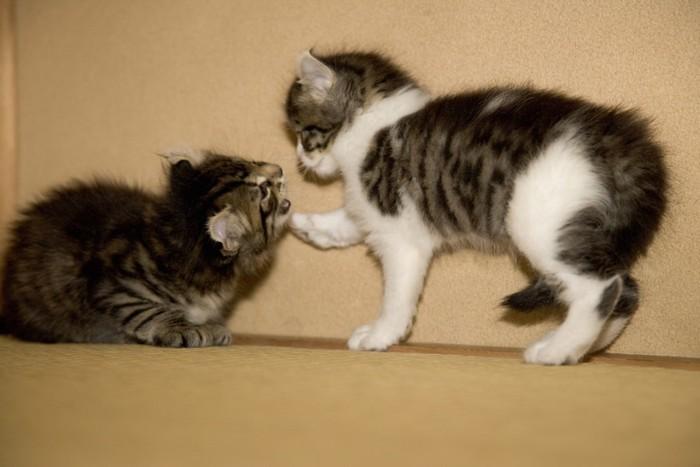 2匹でじゃれあう子猫