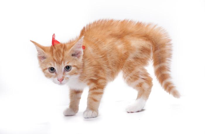 しっぽを膨らませる子猫