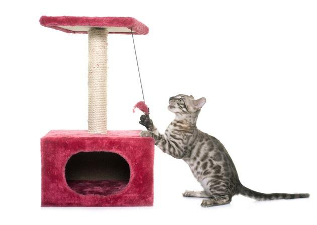 キャットタワーの猫じゃらしで遊ぶ猫
