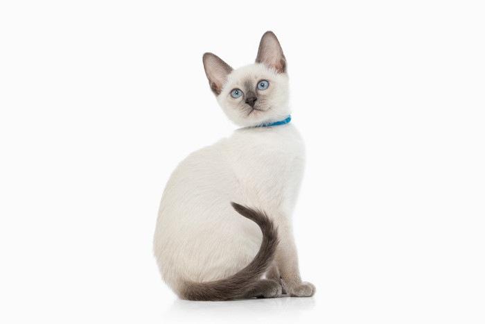ブルーポイントの白い猫