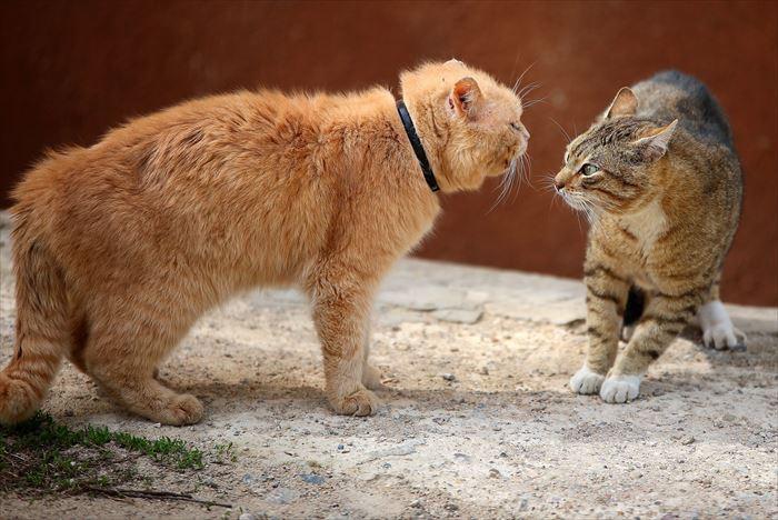 けんか寸前の猫