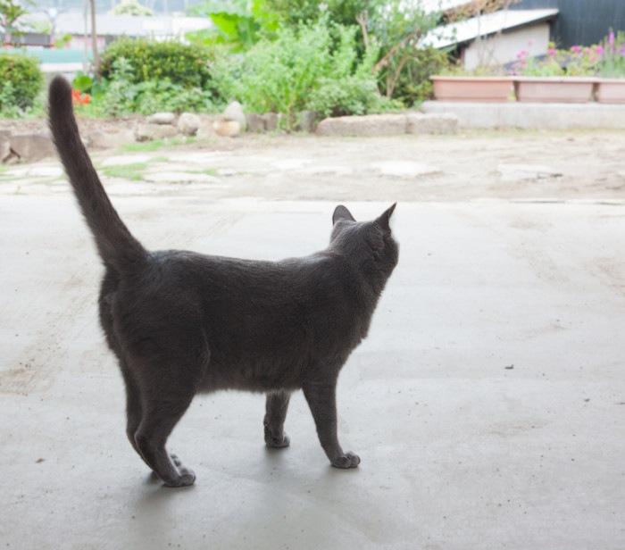 しっぽを立てたグレーの猫