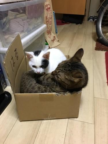 箱の中に入る二匹の猫