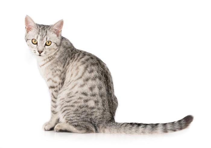タビー柄の猫