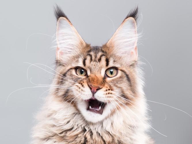 フレーメン反応している猫