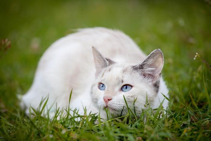 芝生のマンチカン