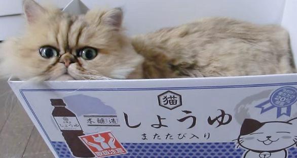 しょうゆと書かれた箱ハウスに入るペルシャ猫
