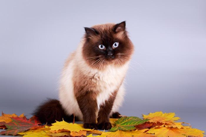 ポイント柄の猫