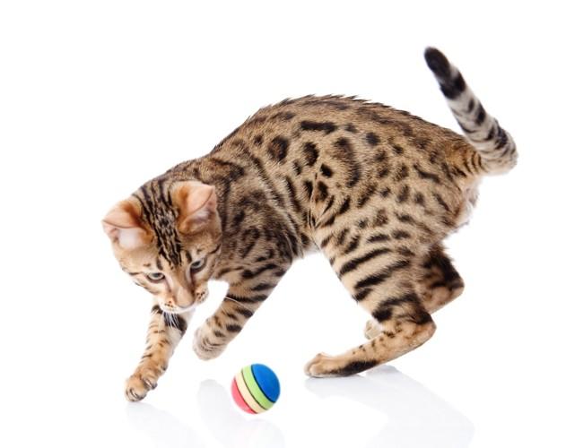 ボールで遊ぶベンガル猫