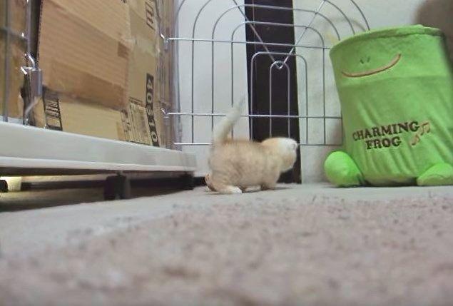 走り去るマンチカンの子猫