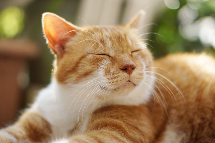 くつろぐ茶色の猫