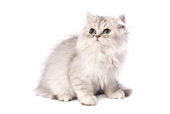 シルバーのチンチラペルシャ猫