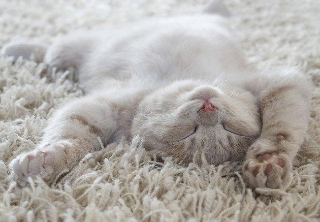 仰向けで膨らんだお腹を見せている子猫