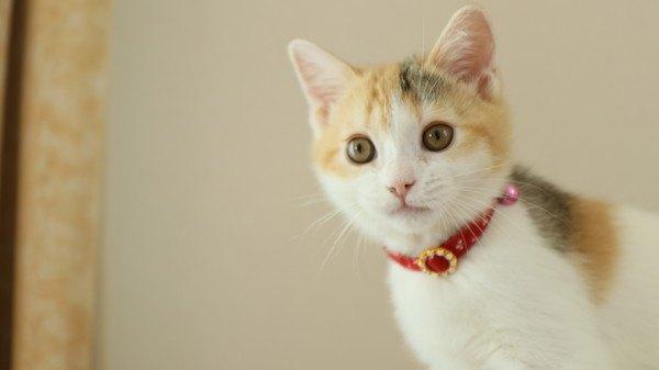 目を丸くする三毛猫