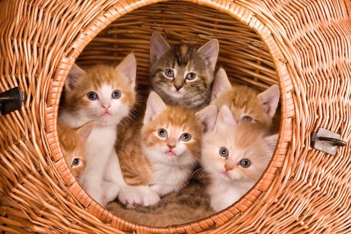 バスケットの中に入ったたくさんの子猫たち